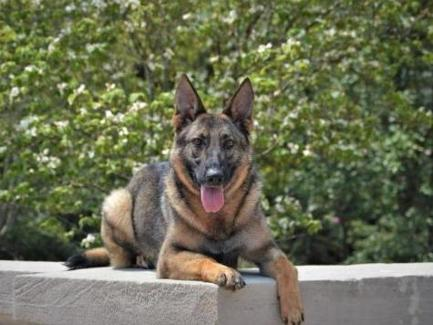 Protection Dog Sales Personal And Executive Protection Dogs For