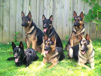 Protection Dog Sales Executive Family Personal